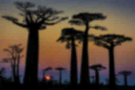 Baobaberna på Madagaskar 03