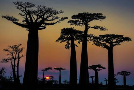 Die Affenbrotbäume von Madagaskar 03