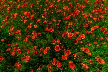 Sprouting poppies