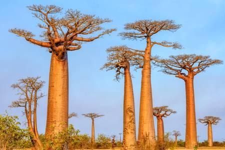 Les doux géants malgaches