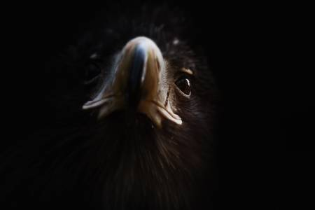 Steller's Sea Eagle 02