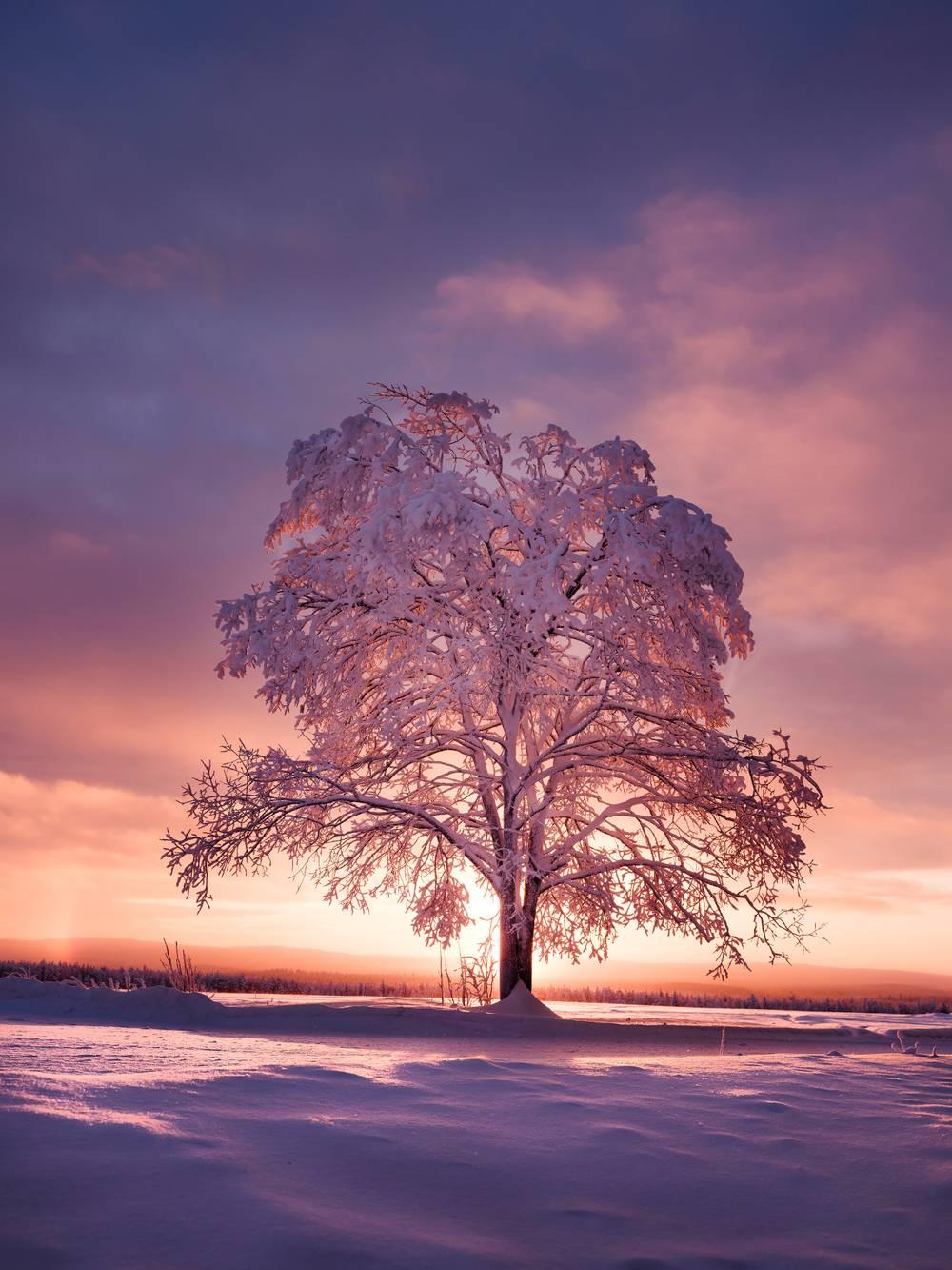 coucher de soleil Lever-de-soleil-sur-un-arbre-enneige