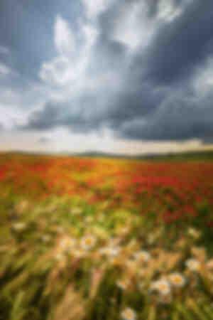 Campo floreciente de amapolas
