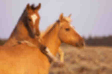 Wilde paarden - Mustangs