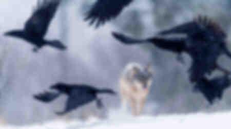 Corvi delle foreste invernali