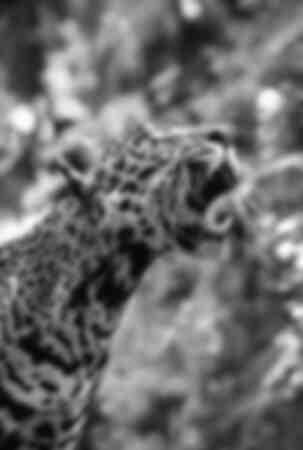 Jaguar à la chasse