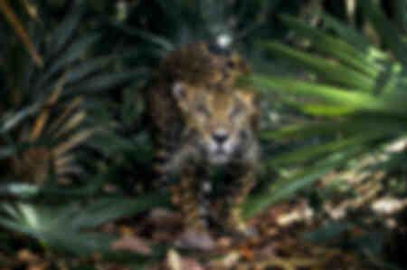 Jaguar - Südamerika