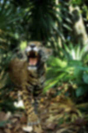 Giaguaro - Panthera onca