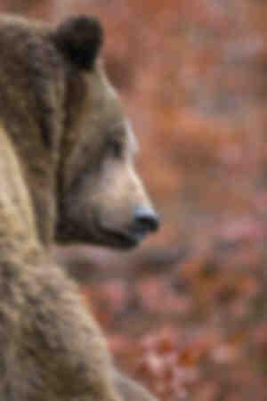 el retrato del oso pardo