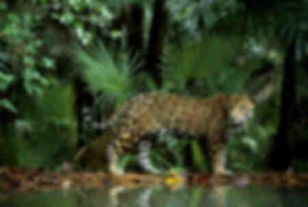 Le royaume du jaguar