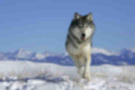 Lobo gris alfa