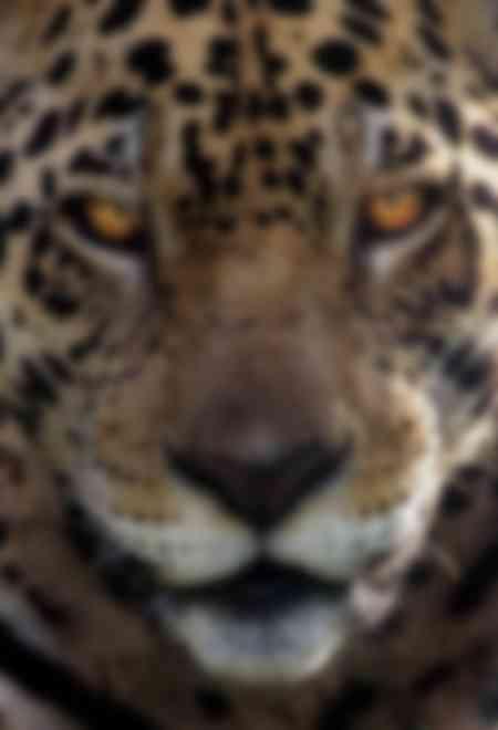 Ritratto di un giaguaro