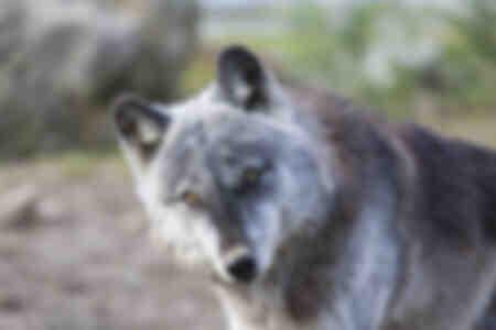 Wolfsporträt