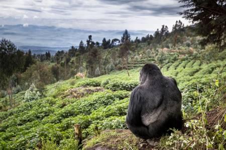 Karl der nachdenkliche Gorilla