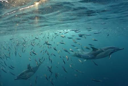 Dolphin chasing sardines