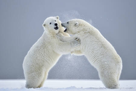 Two young polar bears playing in the snow
