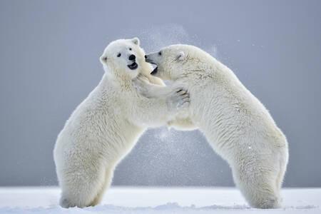 Deux jeunes ours polaires jouant dans la neige