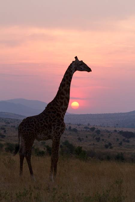 Masai giraffe at sunrise