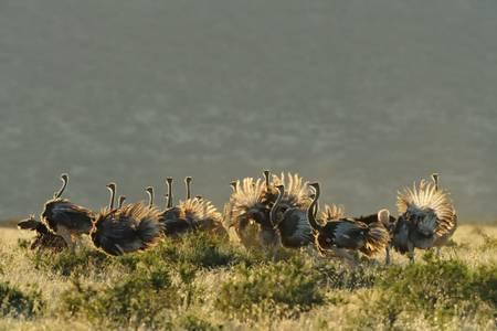 Gruppe somalischer Straußenvögel