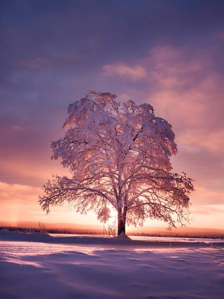 Sunrise on a snowy tree