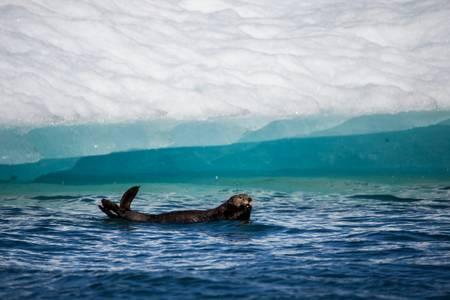 Loutre de mer dans la baie de Columbia