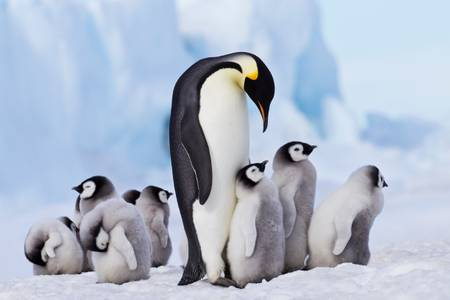 Emperor penguin and chicks on the ice floe