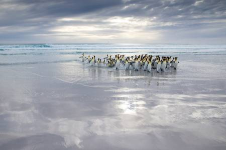 Manchots royaux quittant la mer