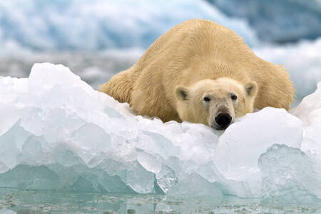 White Bear lying on an ice cube