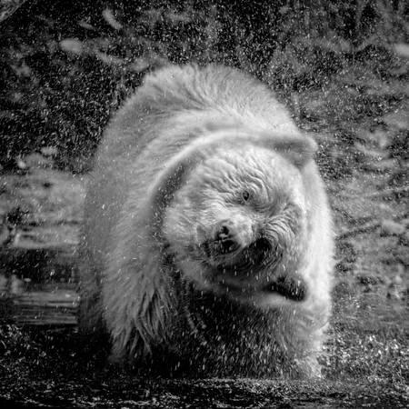 Kermode bear in the river