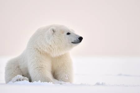 Polar bear on Barter Island