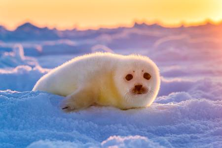 Phoque du Groenland 3