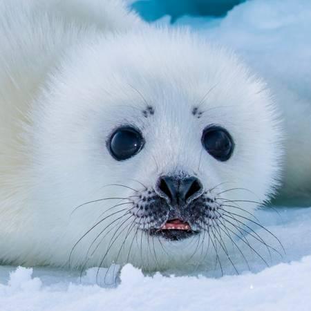 Phoque du Groenland 4