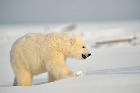 Promenade du jeune Ours