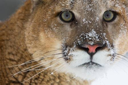 Puma dans les rocheuses