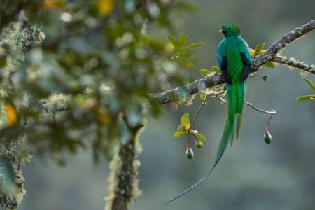 Quetzal du Costa Rica