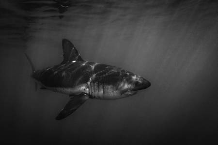 Salmon shark in the icy waters of Alaska