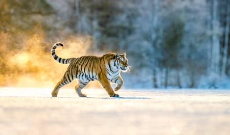 Tigre de Sibérie courant dans la neige