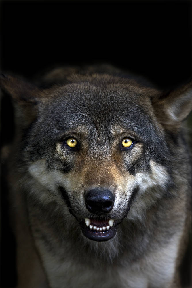 Gray Wolf With Yellow Eyes Photographic Print For Sale
