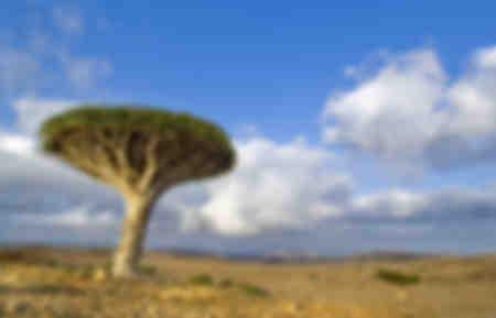 Socotra dragonnier