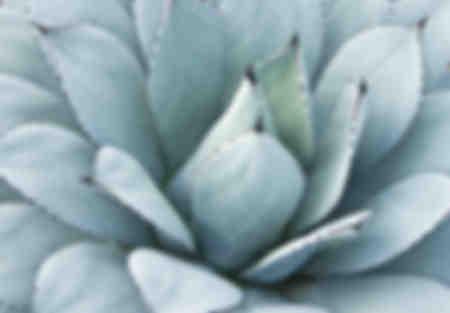 Foglie di agave