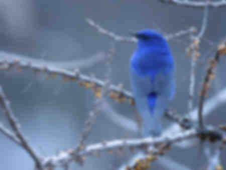 Grandala oiseau bleu II