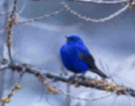 Oiseau bleu Grandala