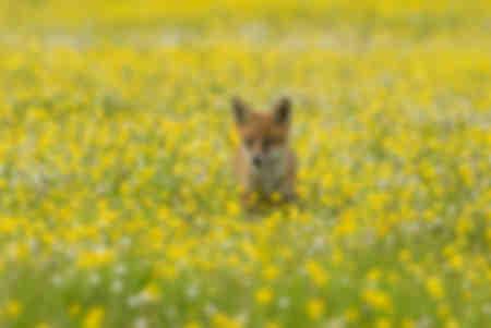 Petit renard roux