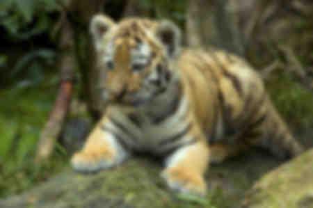 Lilla Tiger