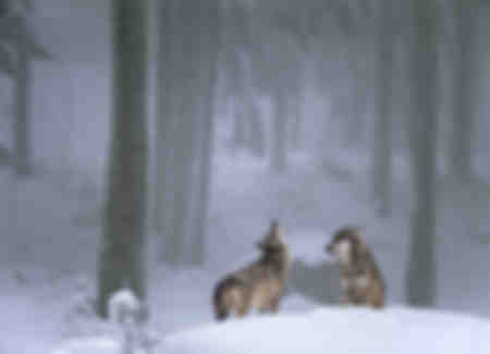 Das Wolfsgebet