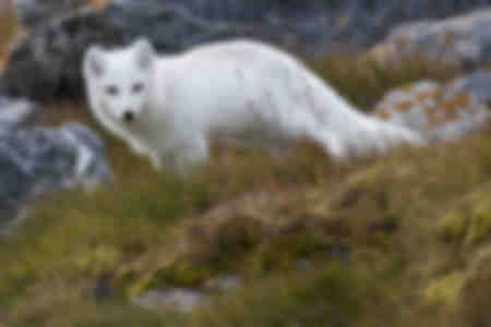 Volpe bianca nell'Artico