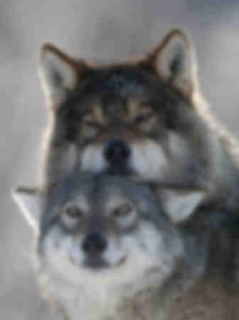 Un couple de loups alpha