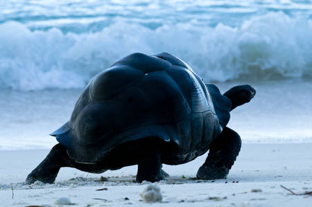 Die Riesen-Aldabra-Schildkröte