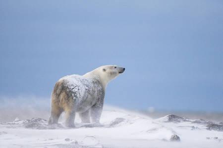Le lever de l'ours polaire
