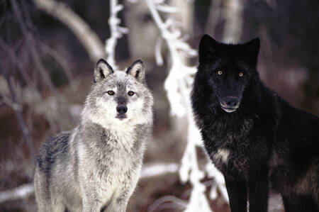 Neither white nor black simply gray wolf